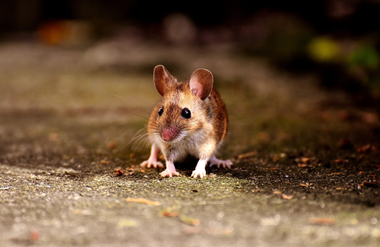 Are Mice A Common Problem In Homes?