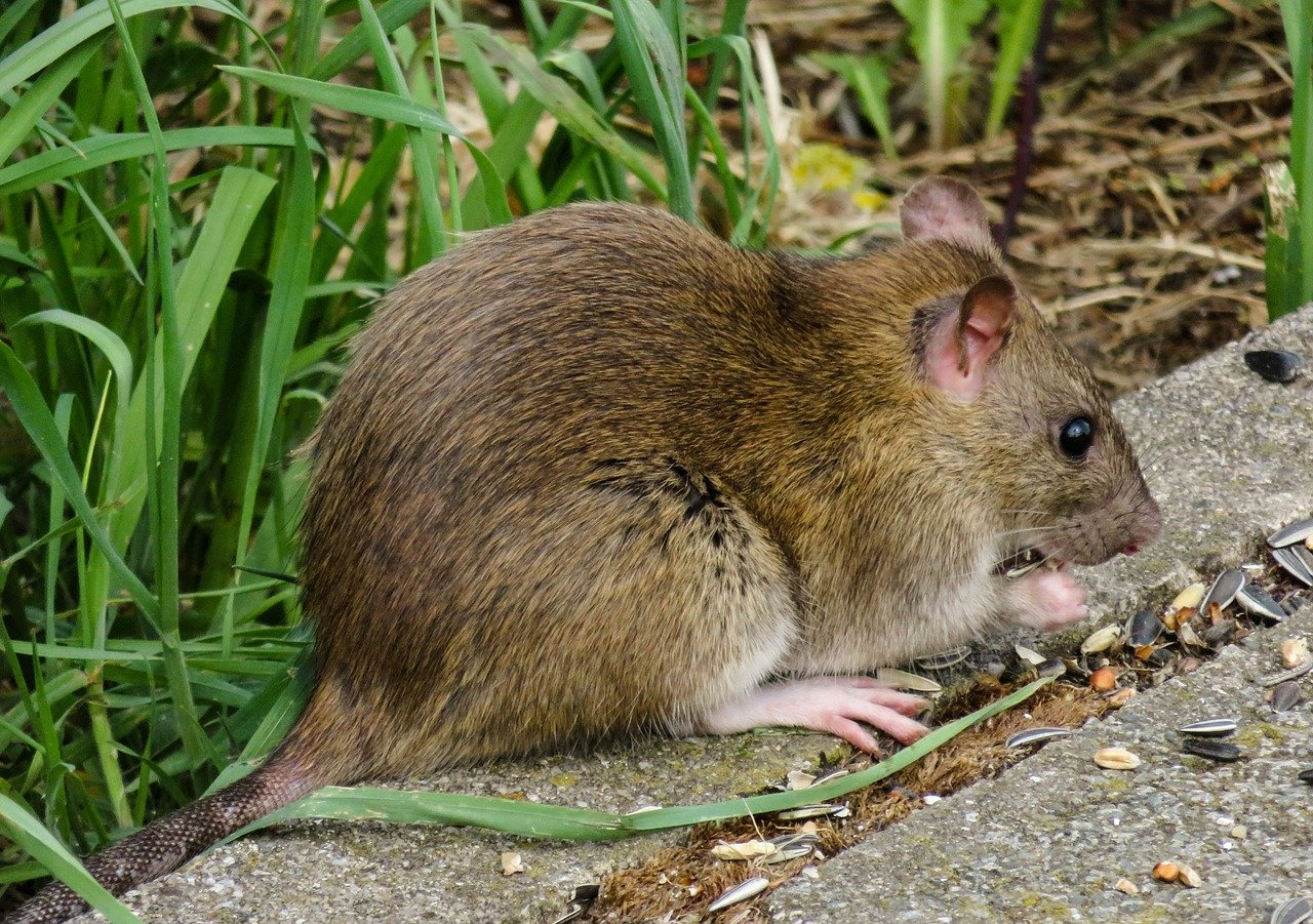 Protect Your Home From Rats: A Checklist