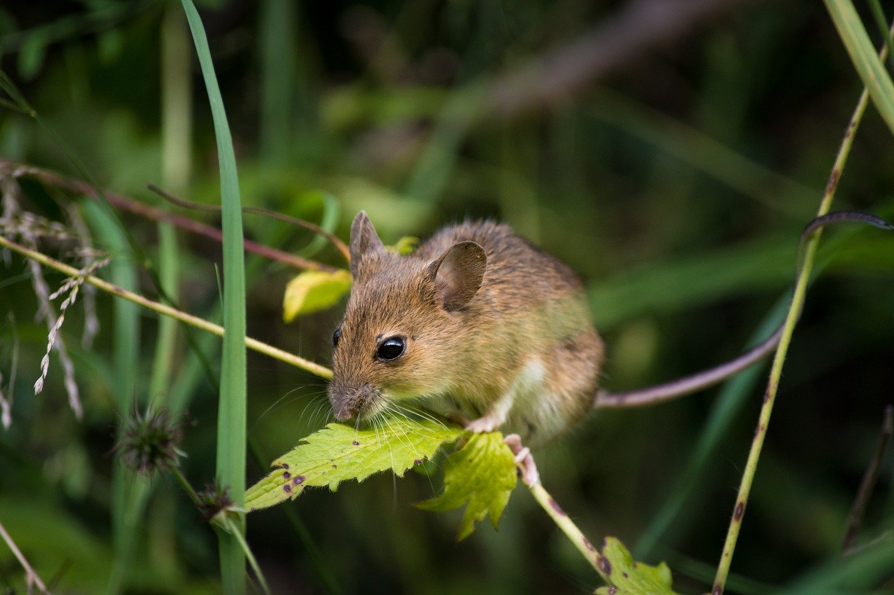 Signs There are Mice In Your Home