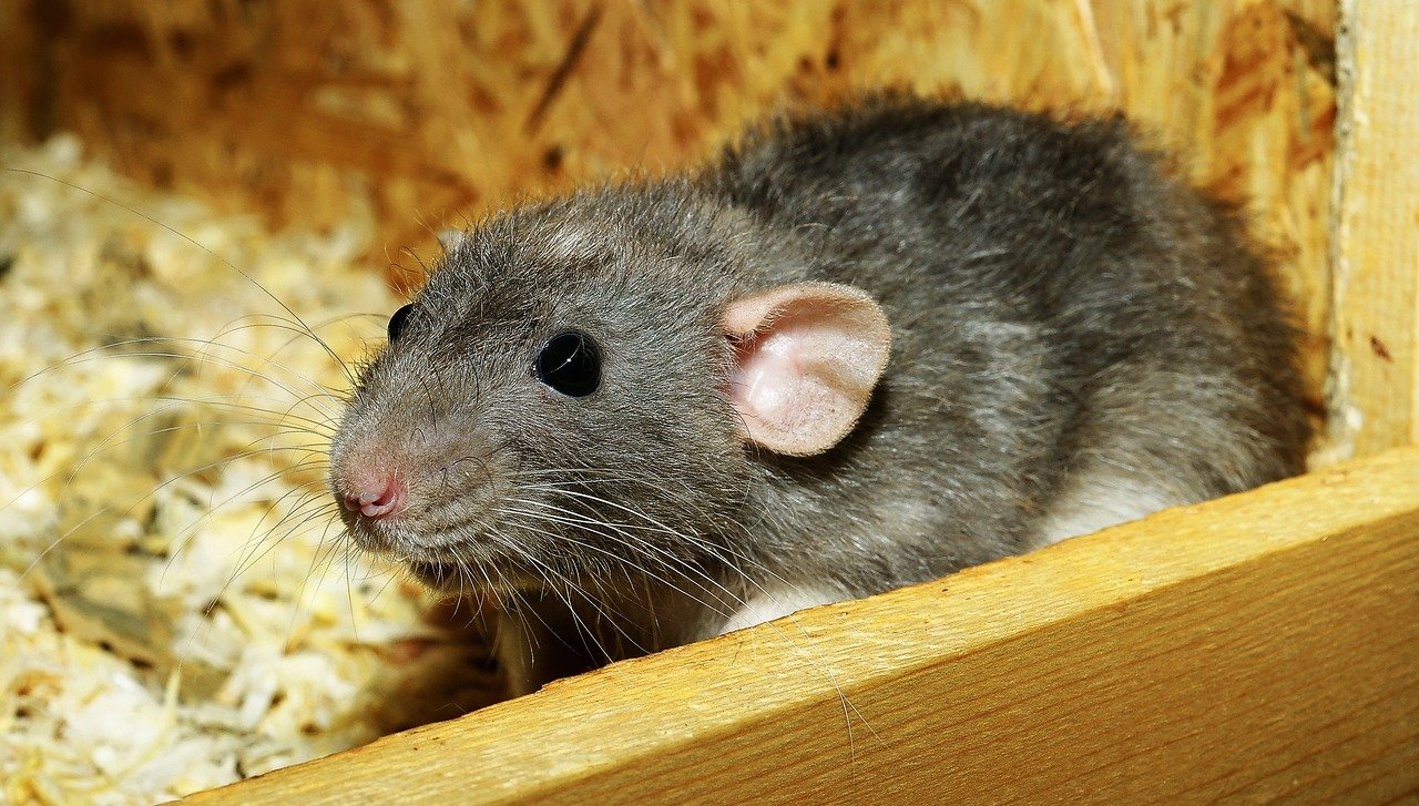 What Are Signs Of Infestation By Rats