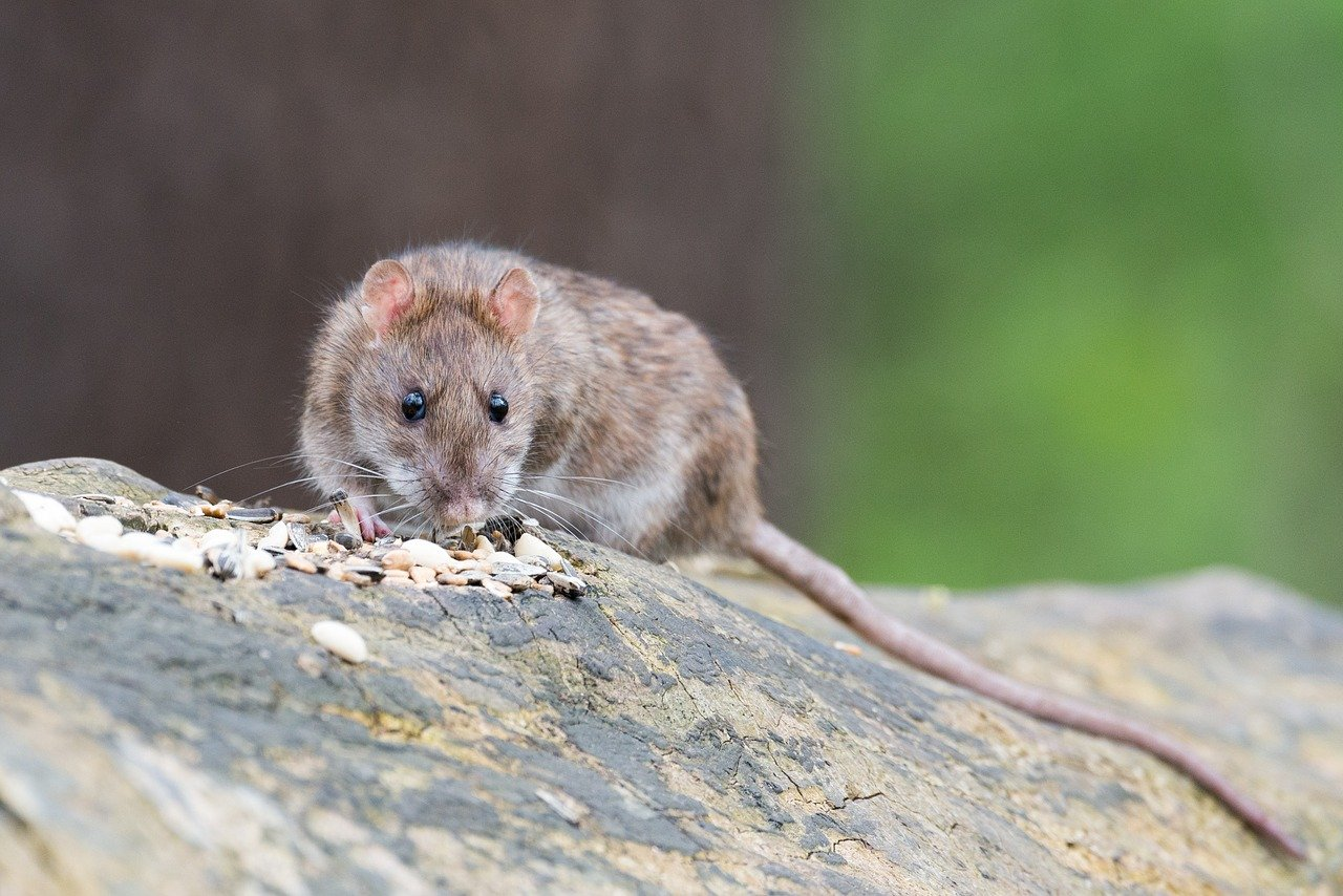 What Do Rats Hate The Most?